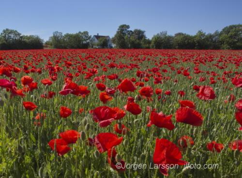 Poppy Gotland