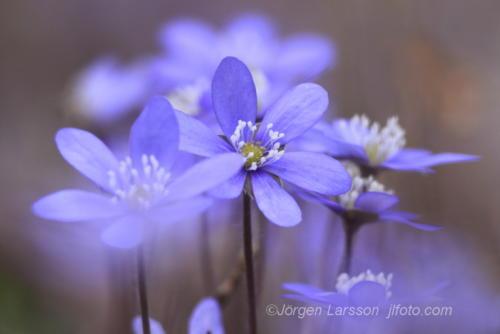Blue anemonde  Blåsippa