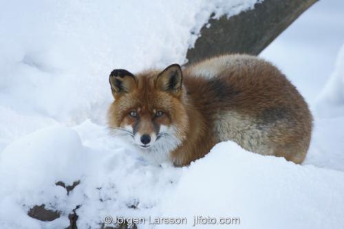 Fox  red fox   Vulpes vulpes Winter  Sodermanland Sverige