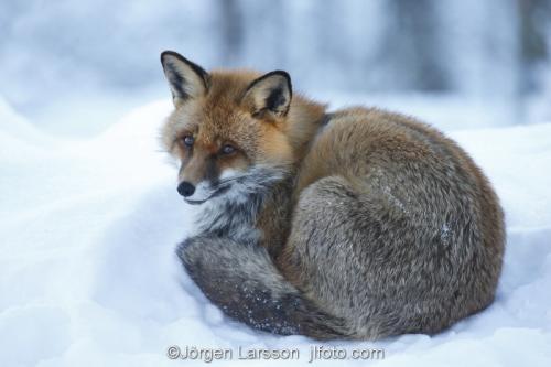 Fox  Red Fox  Sodermanland Sweden