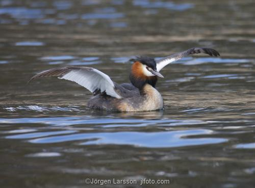 Great Crested Grebe   Podiceps cristatus with chicks Vastervik Smaland Sweden