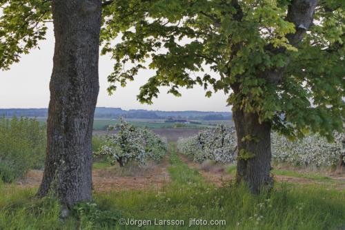 Skåne Vår Sverige blommande äppelträd Kvik