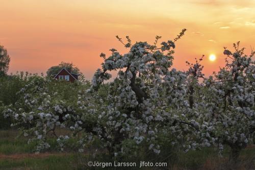 Skåne Vår Sverige blommande äppelträd solnedgång frukt odling