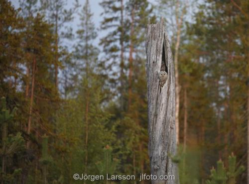 Slaguggla Strix UralensisBoden Västerbotten Uggla Ugglor