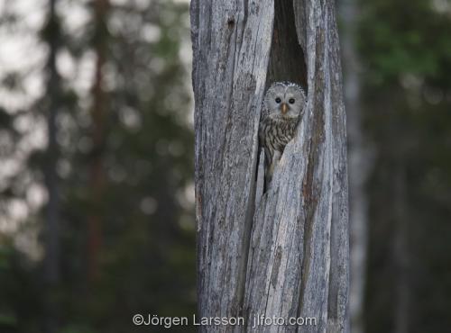 Slaguggla Strix UralensisBoden Västerbotten Lappland  Uggla  Ugglor
