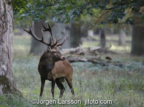 Red Deer Cervus elaphus  Jaegersborg Denmark Rutting
