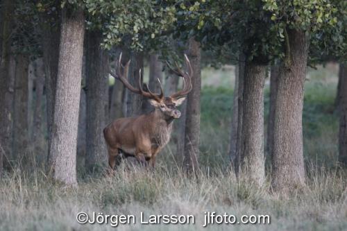 Red Deer Cervus elaphus  Jaegersborg Denmark