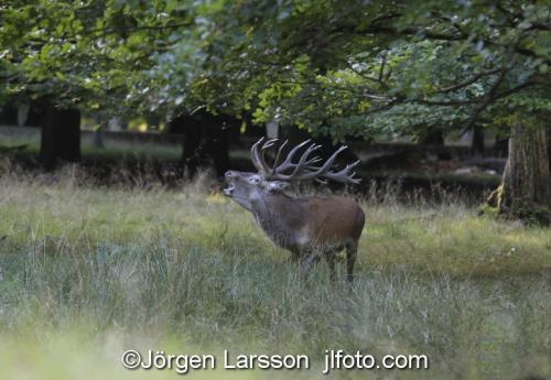 Kronhjort  Cervus elaphus  Jaegersborg Danmark Brunst