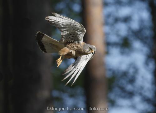 Common Kestrel Falco tinnunculus Bird of preyBoden Vasterbotten Sweden