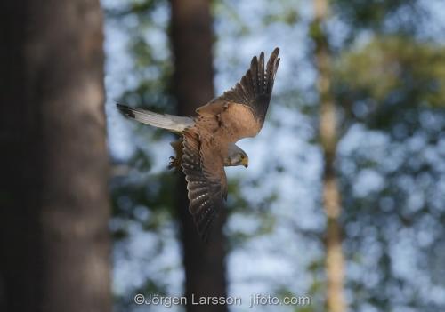 Kestrel  Bird of prey  Boden  Sweden Falk Raptor