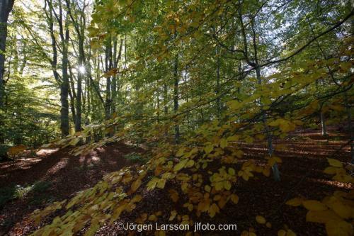Bokskog Mörkö Södermanland Sverige träd löv