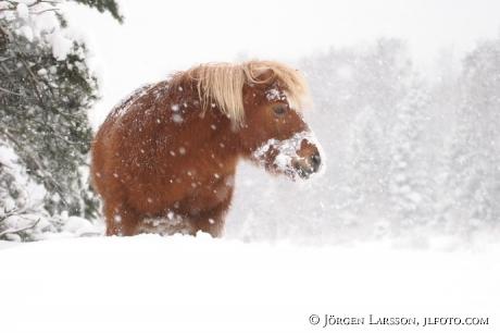 Shettland in snow