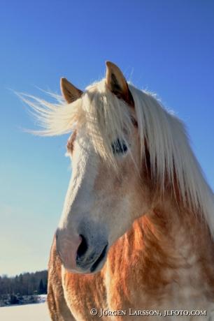 Hafinger horse Sweden