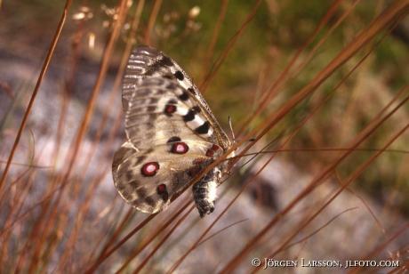 Butterfly Apollo Parnassius apollo
