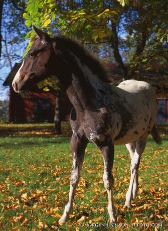 Appalosa foal