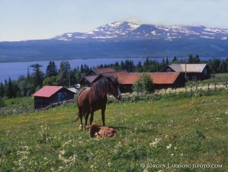 Horses Areskutan Jamtland Sweden