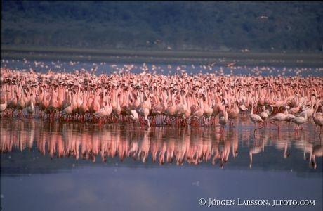 Flamingo Lake Nakuru Kenya