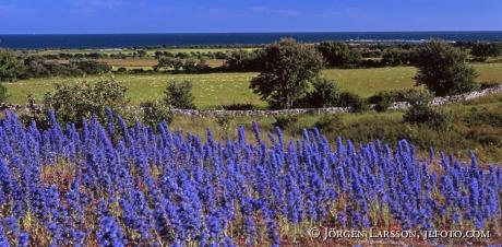 Blåeld Sudret Gotland