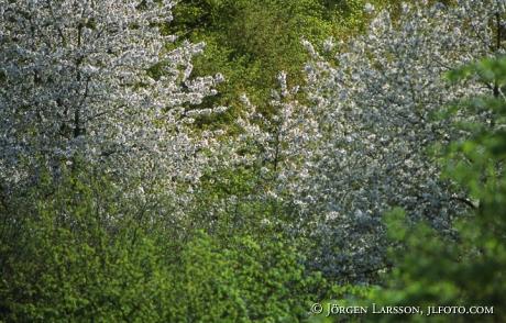 Blommande frukträd vår