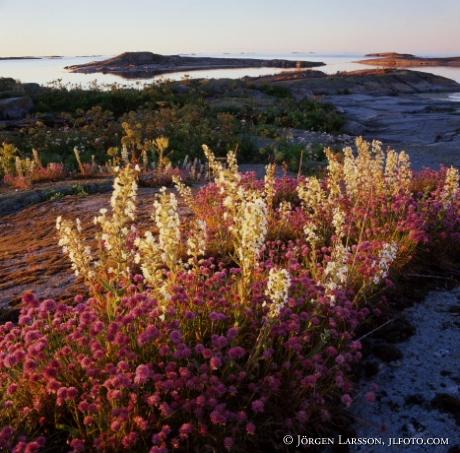 Blomsterprakt Tärnskäret Misterhults skärgård