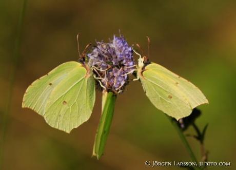 Butterfly  Gonepteryx rhamni