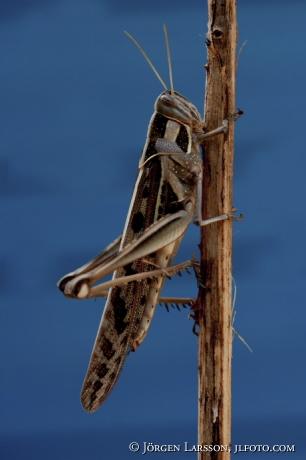 Grasshopper Kenya