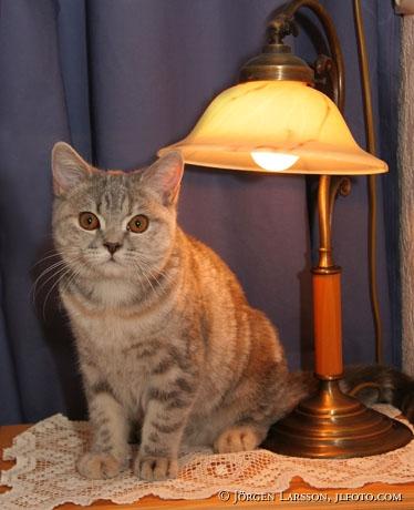 Katt Brittisk korthår