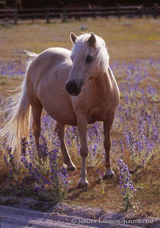 Häst bland blåeld Gotland