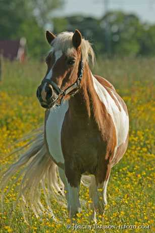 Häst bland smörblommor