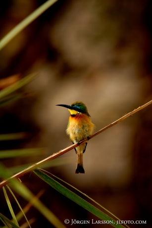 Biätare  Little Bee-eater