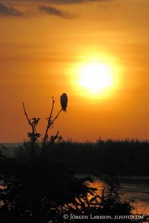 Fish Eagle Haliaeetus vocifer Uganda
