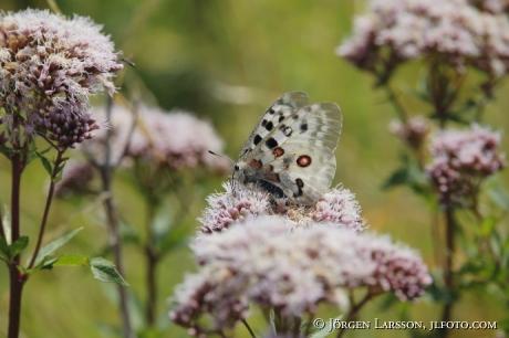 Apollo Butterfly Parnassius apollo