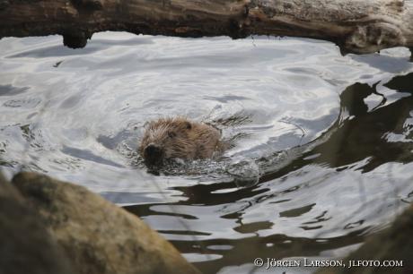 Beaver  Castor fiber