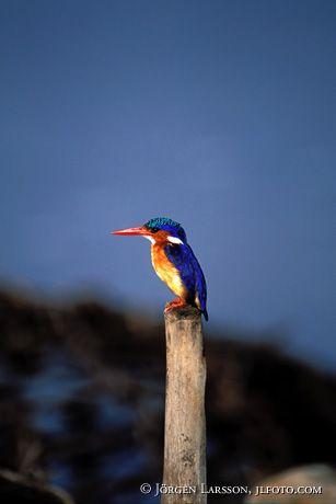 Kungsfiskare Malachite Kenya