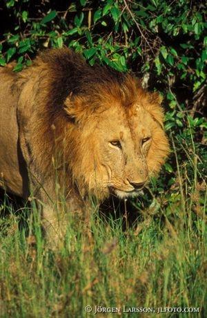 Lejon Masai Mara Kenya