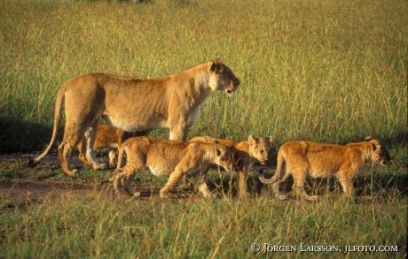 Lejoninna med ungar Masai Mara Kenya