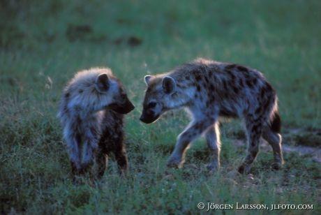 Hyena Masai Mara Kenya