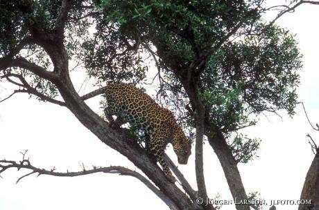 Leopard Masai Mara Kenya