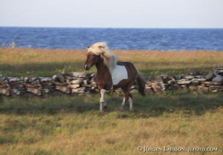 Iceland ponie