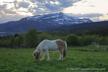 Iceland ponie  Jamtland Sweden