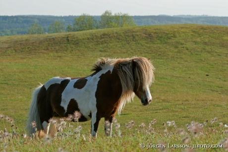 Iceland pony Skane Sweden