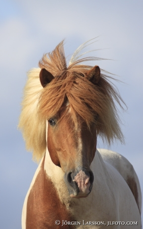 Icelandic horse   Stallion  Oland Sweden
