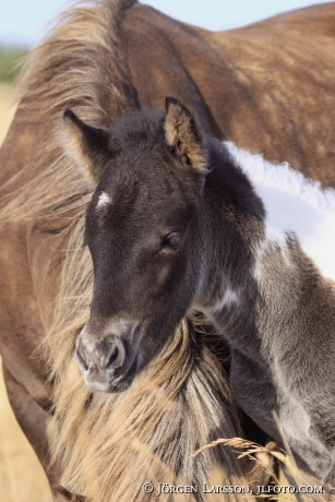 Icelandic horse   Mare with foal Oland Sweden