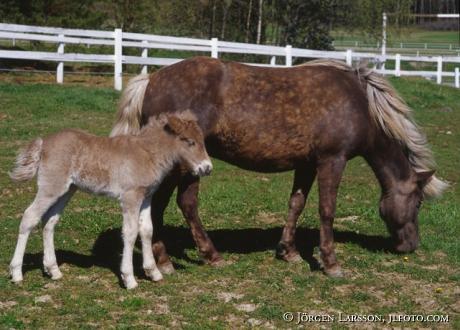 Islandshästar Sto med föl
