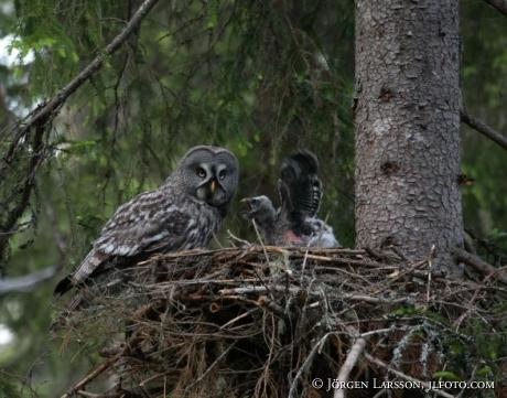 Owl Strix nebulosa Jamtland Sweden