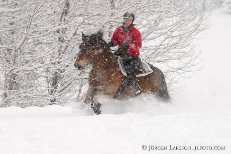North Swedish Trotter