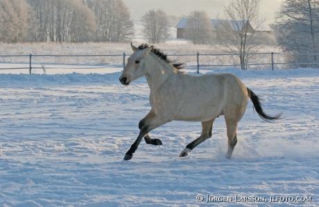 Quarter häst springer i snön