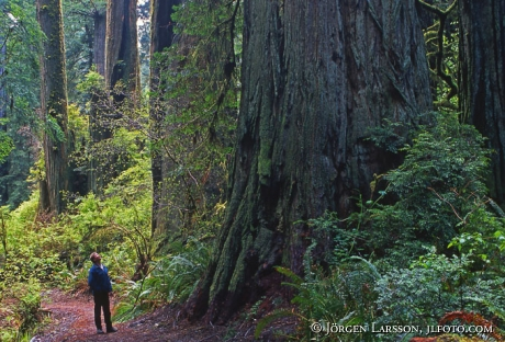 Redwood nat park California USA
