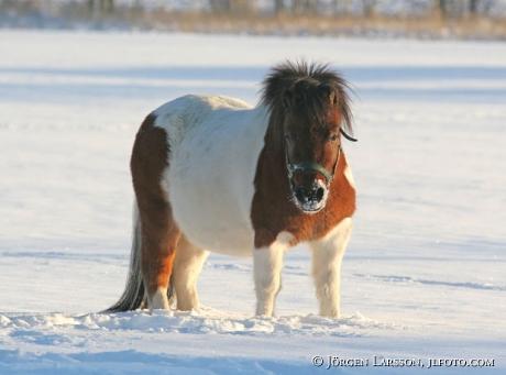 Shetland in snow