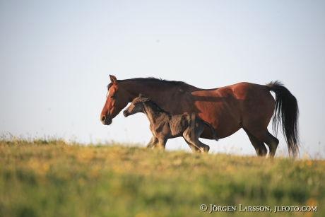 Swedish warmblod  foal  mare